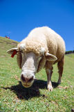 Sheep. Eating food in the grassland Royalty Free Stock Photography