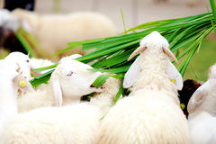 Sheep eating food greensward Royalty Free Stock Images