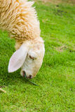 Sheep eating gass Royalty Free Stock Image