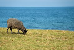 Sheep eating grass. With blue ocean Royalty Free Stock Photography