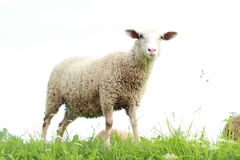 Sheep eating grass. White sheep eating green grass Stock Photos