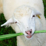 Sheep eating grass Royalty Free Stock Images