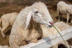 Sheep Eating Grass. Close-up shot of Sheep eating grass in the farm stock images
