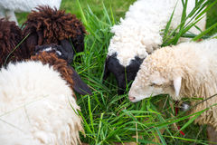 Sheep eating grass Royalty Free Stock Image