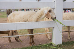Sheep eating grass Stock Image