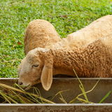 Sheep eating grass. Sheep eating grass in farm Stock Photo