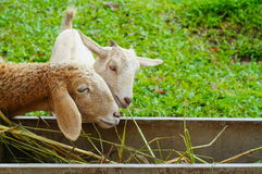 Sheep eating grass. Sheep eating grass in farm Royalty Free Stock Photos