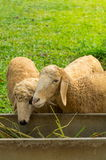 Sheep eating grass. Sheep eating grass in farm Royalty Free Stock Image