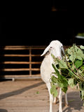 Sheep eating grass Stock Photo