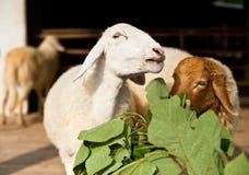 Sheep eating grass Royalty Free Stock Photos