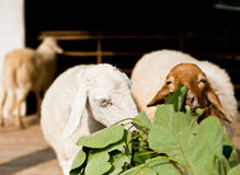 Sheep eating grass Royalty Free Stock Photography