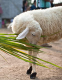 Sheep eating grass Stock Images