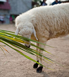 Sheep eating grass Royalty Free Stock Image