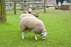 Sheep is eating grass in a farm Stock Photography