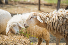 Sheep eating grass in the farm Stock Images