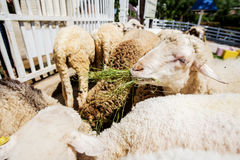 Sheep eating grass in the farm ,Thailand Royalty Free Stock Images