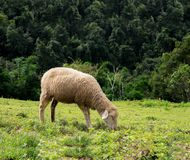 Sheep eating grass in the field.  Royalty Free Stock Image