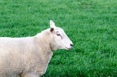 Sheep. Eating grass in a field stock photos
