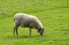 Sheep eating grass in a field Royalty Free Stock Photography