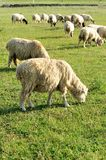 Sheep eating grass Stock Photography