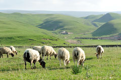 Sheep eating grass Royalty Free Stock Photo