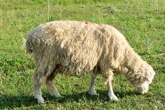 Sheep eating grass Stock Image
