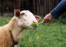 Sheep eating grass from hand stock images