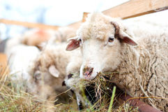 Sheep eating grass and hay in a rural farm Stock Photos