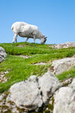 Sheep eating grass on hill Royalty Free Stock Images