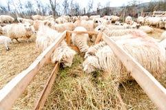 Sheep eating grass at local farm Stock Image