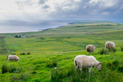 Sheep eating grass in Massive field. In a cloudy day, Isle of Skye, Scotland Royalty Free Stock Photo