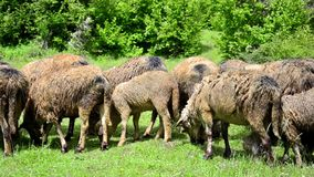 Sheep eating the grass on a meadow stock footage