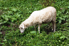 Sheep eating grass in meadow Stock Image