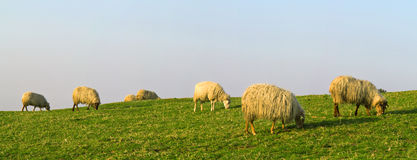 Sheep eating grass in the mountain Stock Photos
