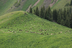 sheep eating grass on mountain trail Stock Images