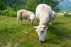 Sheep eating grass in the mountains, Norway. Sheep eating green grass in the mountains, Norway Royalty Free Stock Photography
