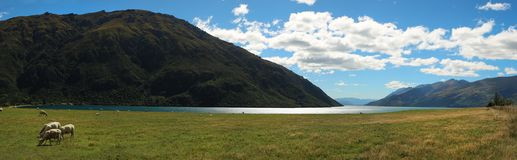 Sheep eating grass near Wakatipu lake in NZ Royalty Free Stock Photo
