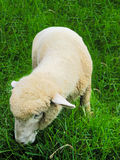 Sheep is eating grass Stock Photos