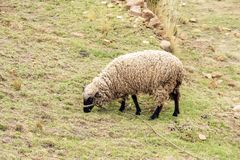 Sheep eating grass. Rocky ground landscape with sheep eating dry grass in Bolivia stock images