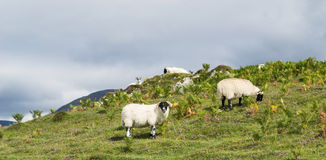 Sheep eating on the grass, Scotland Stock Images