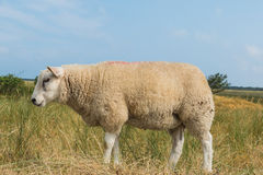 Sheep eating grass in summer Stock Images