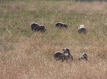 Sheep eating grass in the sun. Some sheep standing in high grass and eating it royalty free stock photography