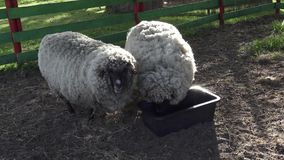 Sheep eating grass. Two sheeps eating on the farm stock video