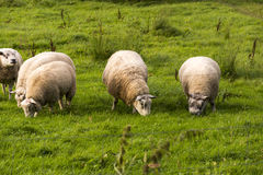 Sheep eating on a green field. Sheep eating grass on a beautiful green field at countryside Stock Image