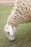 A sheep eating green grasses. Stock Photography