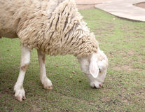 A sheep eating green grasses. Royalty Free Stock Photo
