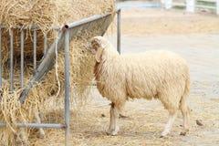 Sheep eating haay Stock Photo