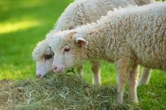 Sheep eating hay Royalty Free Stock Image