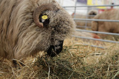 Sheep eating hay Stock Photo