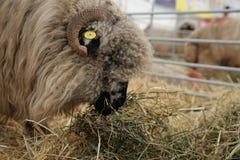 Sheep eating hay Stock Photo